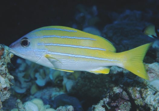 A Bluestripe Seaperch at Ribbon Reef