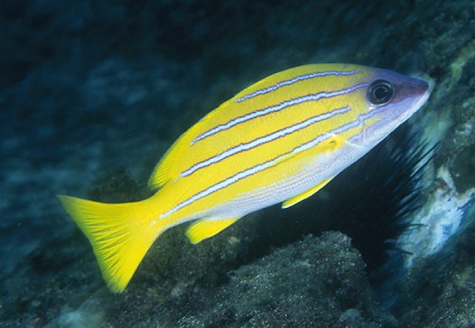 Bluestripe Seaperch at North Solitary Island