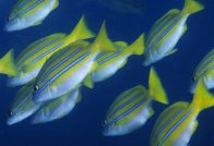A school of Bluestripe Seaperch at North Solitary Island