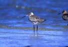 Bar Tailed Godwit standing in ocean