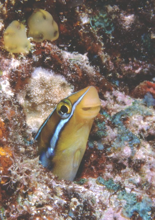 A Bluestriped Fangblenny at Wreck Bay