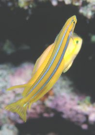 A Bluestriped Fangblenny at Ribbon Reef #3