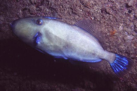 A male Bluetail Leatherjacket at the Dredge wreck