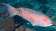 Saddleback Pigfish at Muiron Islands