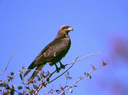 Black Kite In Tree