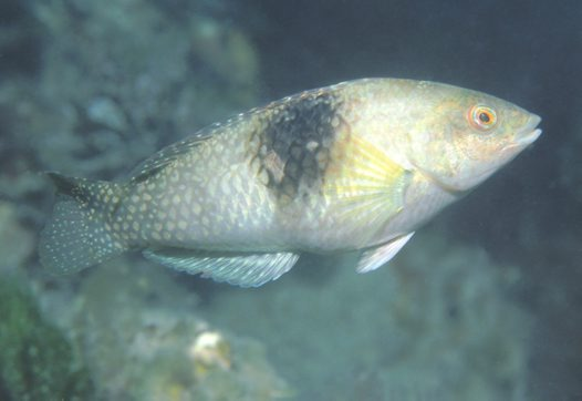 A Bluethroat Wrasse at Rapid Bay Jetty