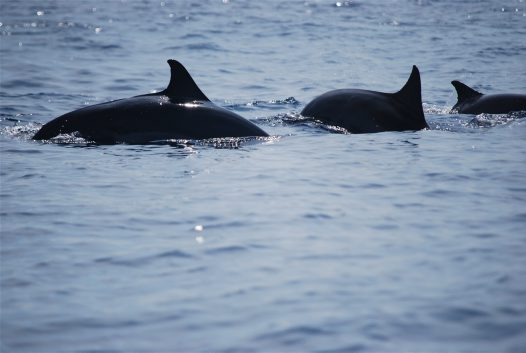 Dolphins in Java Sea