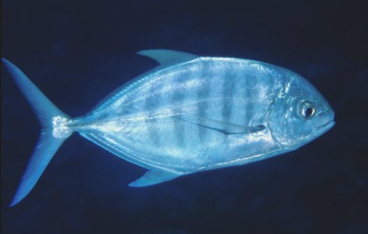 A Blue Trevally at Osprey Reef