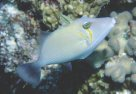 Pallid Triggerfish at Mantis Reef