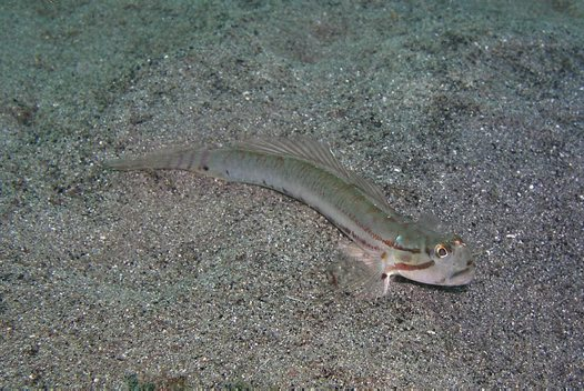 A Bridled Goby at Wollongong Harbour