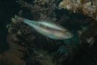 Bridled Leatherjackets at Port Stephens