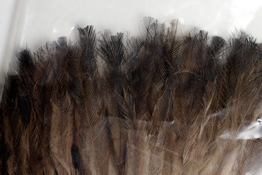 Emu feather plume (E35344-2)