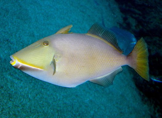 Male Bridled Triggerfish at Sea World
