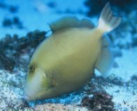 A Bridled Triggerfish at North Solitary Island