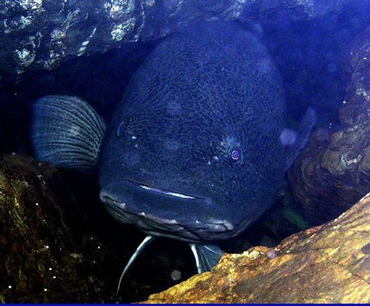 Murray Cod with eggs in a cave