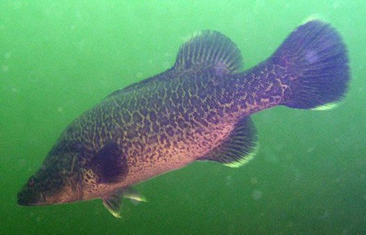 Murray Cod in Blowering Dam