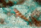 A Broadbanded Shrimpgoby at North Solitary Island