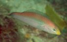 A Brokenline Wrasse at Port Stephens