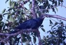 Eastern Koel in tree