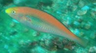 A Brokenline Wrasse at North Solitary Island