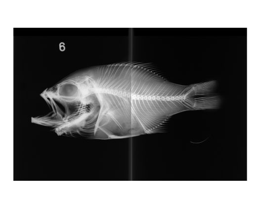 X-ray of a Dju Fish
