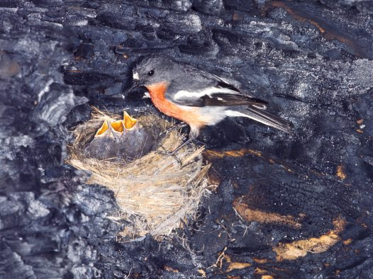 Flame Robin at nest feeding young