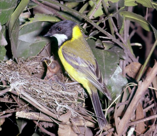 Golden Whistler at nest feeding young