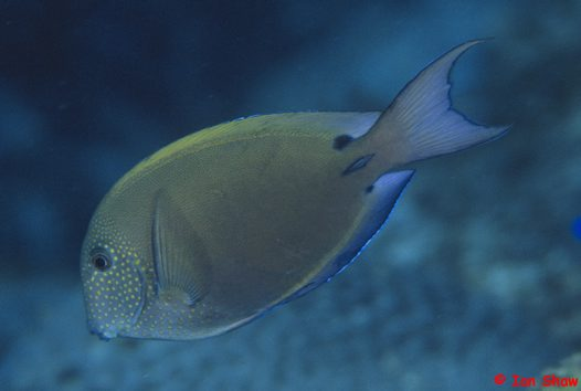 A Brown Surgeonfish at North Solitary Island