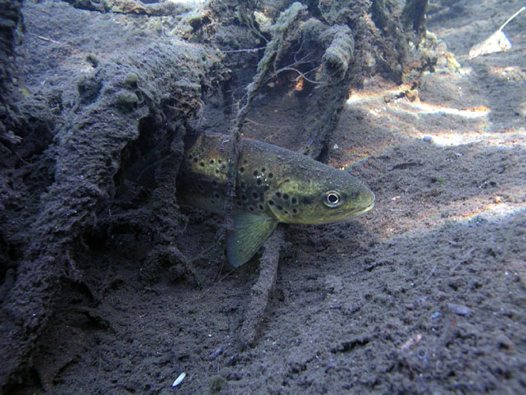 Brown Trout in Thredbo River