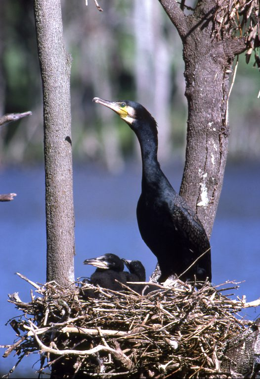Great Cormorant at the nest with young