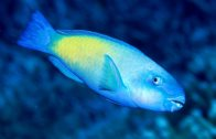 Male Greenfin Parrotfish at Ribbon Reef