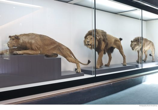Lions in the Atrium