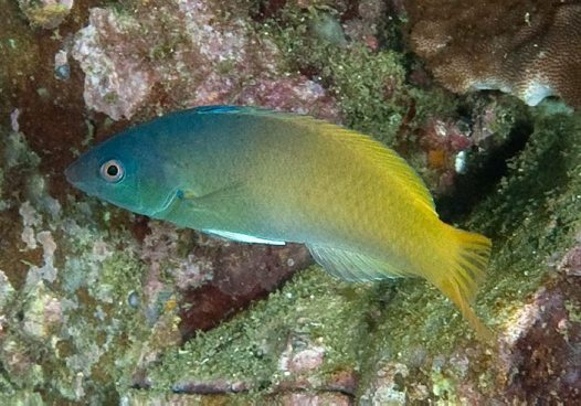 Twotone Wrasse at South West Solitary Island