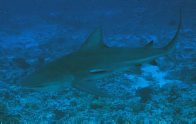 A Grey Reef Shark at 'The Cod Hole'
