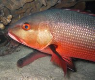 Red Bass, Lutjanus bohar