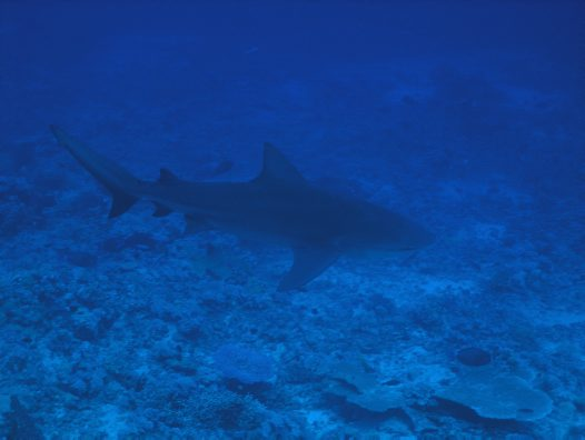 A 2.5 m long Grey Reef Shark at 'The Cod Hole'