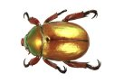 King beetle