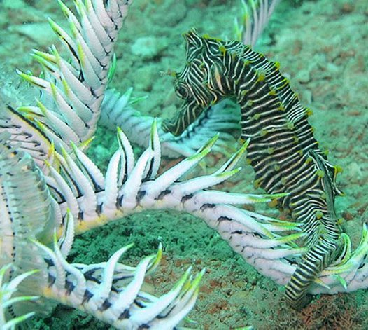 Monte Bello Seahorse at Port Hedland