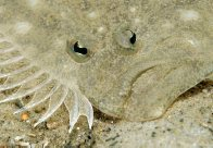 Head of a Largetooth Flounder