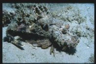 Lateral view of a Demon Stingerfish at Redang