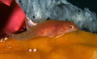 Western Cleaner Clingfish, Cochleoceps bicolor