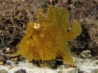 Striate Anglerfish, Antennarius striatus