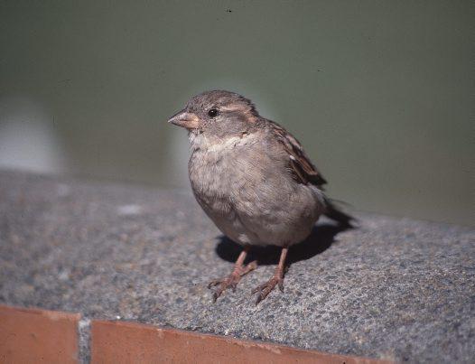 Sparrow Lifespan House Sparrow House Sparrow Female Sitting