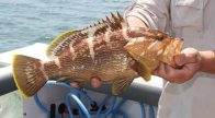 Maori Rockcod from Port Stephens