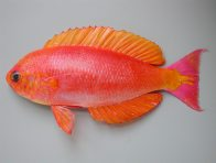 Splendid Perch, Callanthias australis