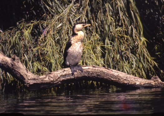 Little Pied Cormorant sitting on log by water
