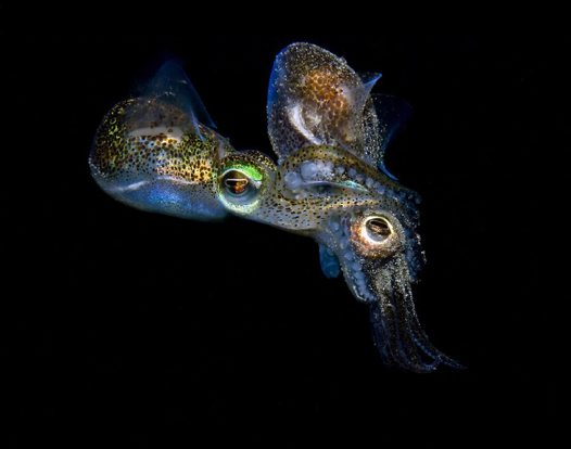 Best of Eureka - Mating Dumpling Squid