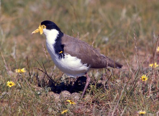 Masked Lapwing at its nest on the ground