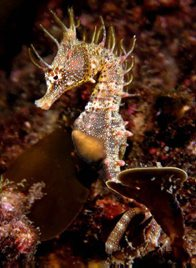 Shorthead Seahorse, Hippocampus breviceps