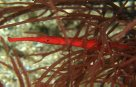 Widebody Pipefish in red alga